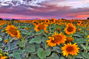 Pink Skies Prints - Pink Skies and Sunflowers Print by Scott Mahon