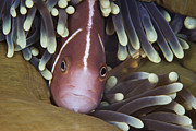 Pomacentridae Posters - Pink Skunk Clownfish In Its Host Poster by Terry Moore