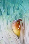 Sea Life Photo Posters - Pink Skunk Clownfish Poster by Liquid Kingdom - Kim Yusuf Underwater Photography