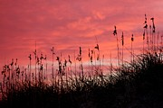 Kim Galluzzo-Wozniak - Pink skys above the dunes