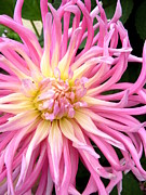 Dinner-plate Dahlia Framed Prints - Pink Spider Dahlia Framed Print by Cindy Wright