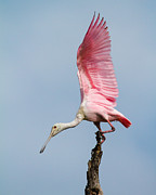 Spoonbill Framed Prints - Pink Spoonbill Ready for Takeoff Framed Print by Bill Swindaman