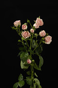 Noboby Framed Prints - Pink Spray Roses Rosa Rugosa Framed Print by Joel Sartore