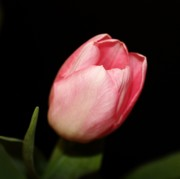 Tulips - Pink Spring Tulip by Cathie Tyler