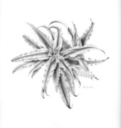 Bromeliad Drawings Prints - Pink Star in Gray Print by Penrith Goff