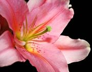 Pink Flowers Originals - Pink Stargazer by Cathie Tyler