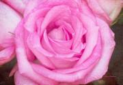 Pink Surprise Print by Joan Bertucci