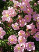Pink Primroses Photos - Pink Texas Primroses by Beth Akerman
