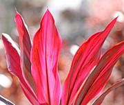 Cordyline Tree Prints - Pink ti plant Print by Becky Lodes