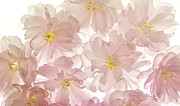 Decor Photography Originals - Pink Tissue Paper by Brad Rickerby