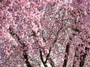 Tree Blossoms Prints - Pink Tree Blossom Landscape Spring art prints Baslee Troutman Print by Baslee Troutman Fine Art Prints
