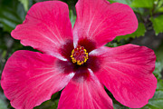 Daphne Sampson - Pink Tropical Hibiscus