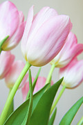 Julia Hiebaum Metal Prints - Pink Tulip Flowers Metal Print by Julia Hiebaum
