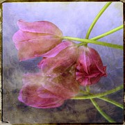 Manipulated Framed Prints - Pink tulips Framed Print by Bernard Jaubert
