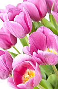 Pink Flowers. Posters - Pink tulips Poster by Elena Elisseeva
