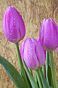 Dew Posters - Pink Tulips Poster by Garry Gay