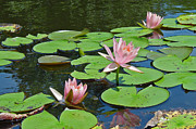 Pink Water Lilies Print by Suzanne Gaff