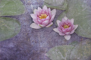 Pinks Posters - Pink water lillies Poster by Carolyn Dalessandro