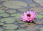 Lovely Pond Posters - Pink Water Lily All by myself Poster by Sabrina L Ryan