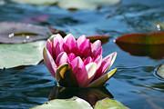Amee Stadler - Pink Water Lily