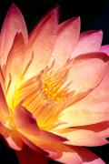 Outdoor Still Life Art - Pink Water Lily by Bill Brennan - Printscapes