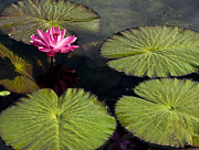 Lotus Pond Framed Prints - Pink Water Lily I Framed Print by Heiko Koehrer-Wagner