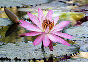 Hawaiian Pond Prints - Pink Water Lily in the Morning Print by Sabrina L Ryan