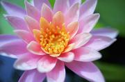 Pink Water Lily Print by Kicka Witte