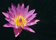 Kissing Art - Pink Water Lily Kissing the Sunshine by Sabrina L Ryan
