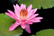 Binh Ly - Pink Water Lily Longwood...