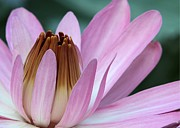 Nature Center Pond Photo Prints - Pink Water Lily Macro Print by Sabrina L Ryan