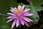 Waterlily Art - Pink water lily Nymphaea caerulea by Yossi Aptekar