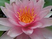 Pink Water Lily Print by Renee Trenholm