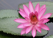 Lovely Pond Prints - Pink Water Lily Tutu Print by Sabrina L Ryan