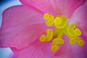Kelly Photo Prints - Pink Wax Begonia Print by Ryan Kelly