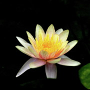 White Water Lily Art - Pink White Yellow Water Lily Lotus Flower . Square . 7D5754 by Wingsdomain Art and Photography