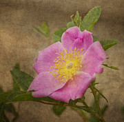 Pink And Yellow Framed Prints - Pink Wild Rose Framed Print by Dale Kincaid