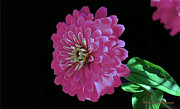 Pink Zinnia Print by William Lallemand