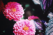 Paul Thomley - Pink Zinnias