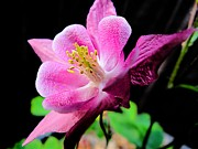 Abstract Columbine Prints - Pinkie Showing Off Print by Beth Akerman