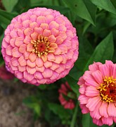 Zinna Photos - Pinks the Color by Bruce Bley