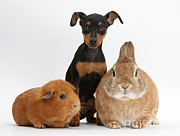Doberman Pinscher Puppy Prints - Pinscher Puppy With Rabbit And Guinea Print by Mark Taylor