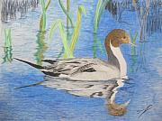 Ron Sargent - Pintail Duck