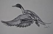 Duck Hunting Drawings - Pintail In Flight Sketch. by Calvin Carter