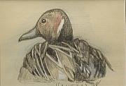 Waterfowl Drawings Framed Prints - Pintail Framed Print by Jane Hanson