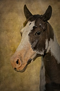 Wild Horses Prints - Pinto in the Mist Print by Susan Candelario