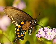 Pipevine Swallowtail Butterfly Prints - Pipevine Swallowtail butterfly Print by Andrew McInnes