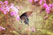 Phlox Prints - Pipevine Swallowtail Butterfly Print by Lena Auxier
