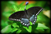 Pipevine Swallowtail Butterfly Prints - Pipevine Swallowtail Butterfly Print by Saija  Lehtonen