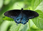 Pipevine Swallowtail Butterfly Prints - Pipevine Swallowtail Print by Carol Groenen